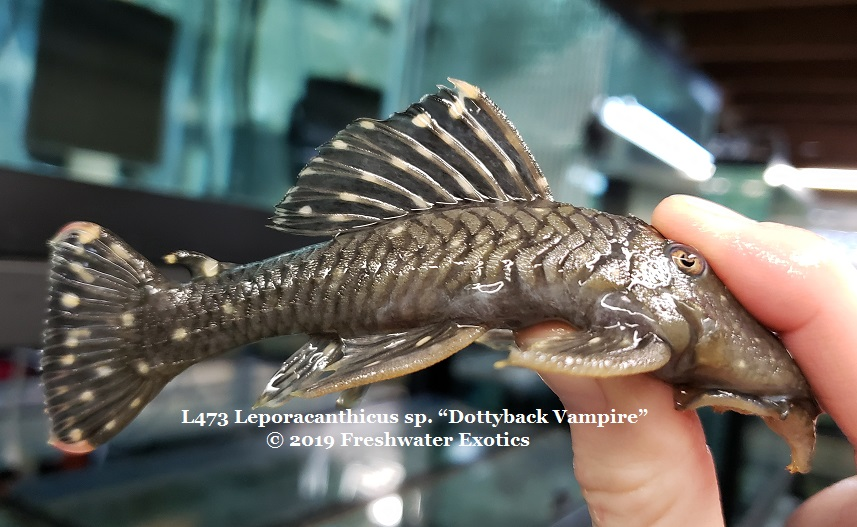 Current Stock Gallery - Freshwater Exotics