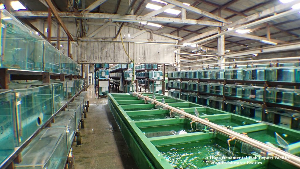 Into the Amazon: The Largest Ornamental Fish Export Facility